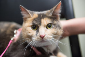 color photo/close-up of a calico cat at April 2015 VTH open house