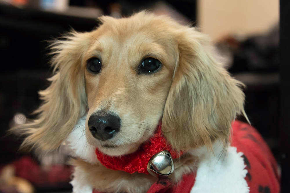 color photo of a carmel-colored dachshund dressed in red for the Christmas holiday