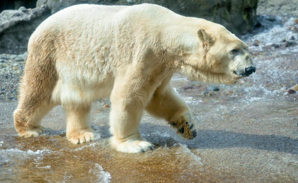 color photo of Boris the polar bear Point Defiance Zoo & Aquarium