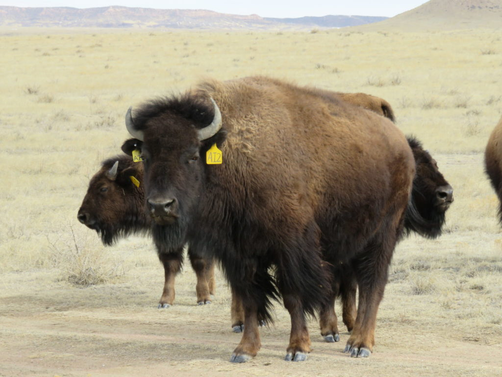 close up photo of AI2, one of the bison in the Laramie Foothills Bison Conservation Herd