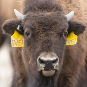 close up photo of the head of IVF1, a bison calf created by in vitro fertilization at CSU