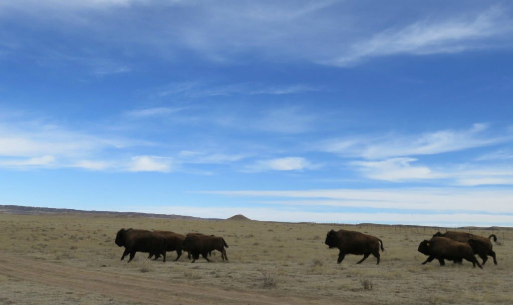 color photo of 8 bison running out of a truck onto Soapstone Prairie, blue sky in the background