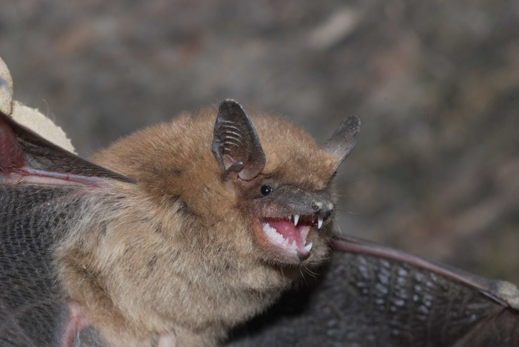 A bat flies around with its mouth ajar.
