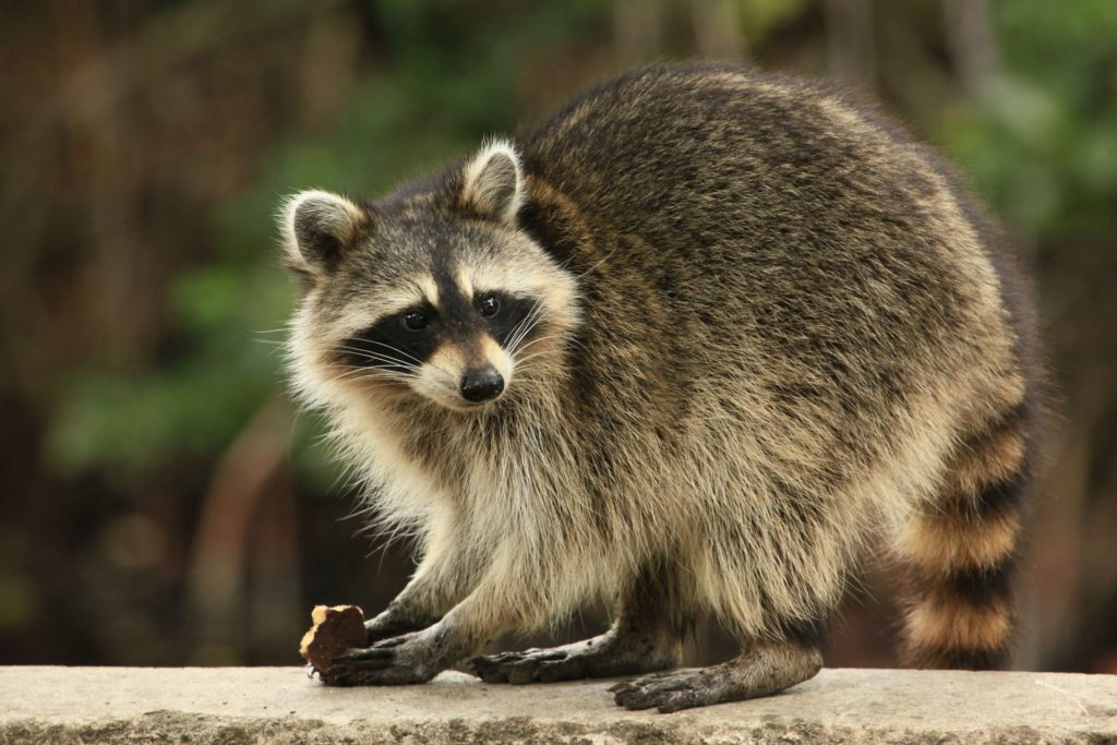A raccoon holds food while looking at something in the distance.