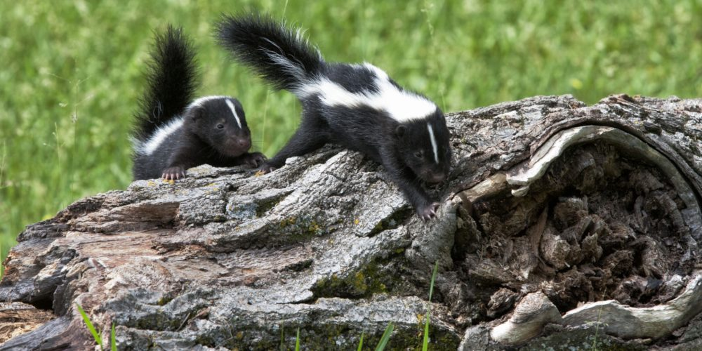 Baby skunks climbing over a fallen tree trunk