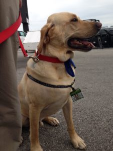 yellow lab with an Indy 500 name tag