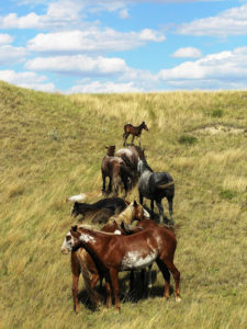 Wild horses at Theodore Roosevelt National Park. Photo by Marlylu Weber of North Dakota Badlands Horse.