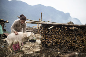 Woman checks goat's coat while goat eats. Firewood and mountain in background.