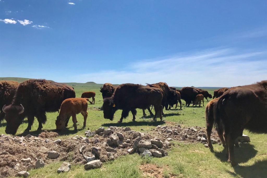 Northern Colorado Bison Herd