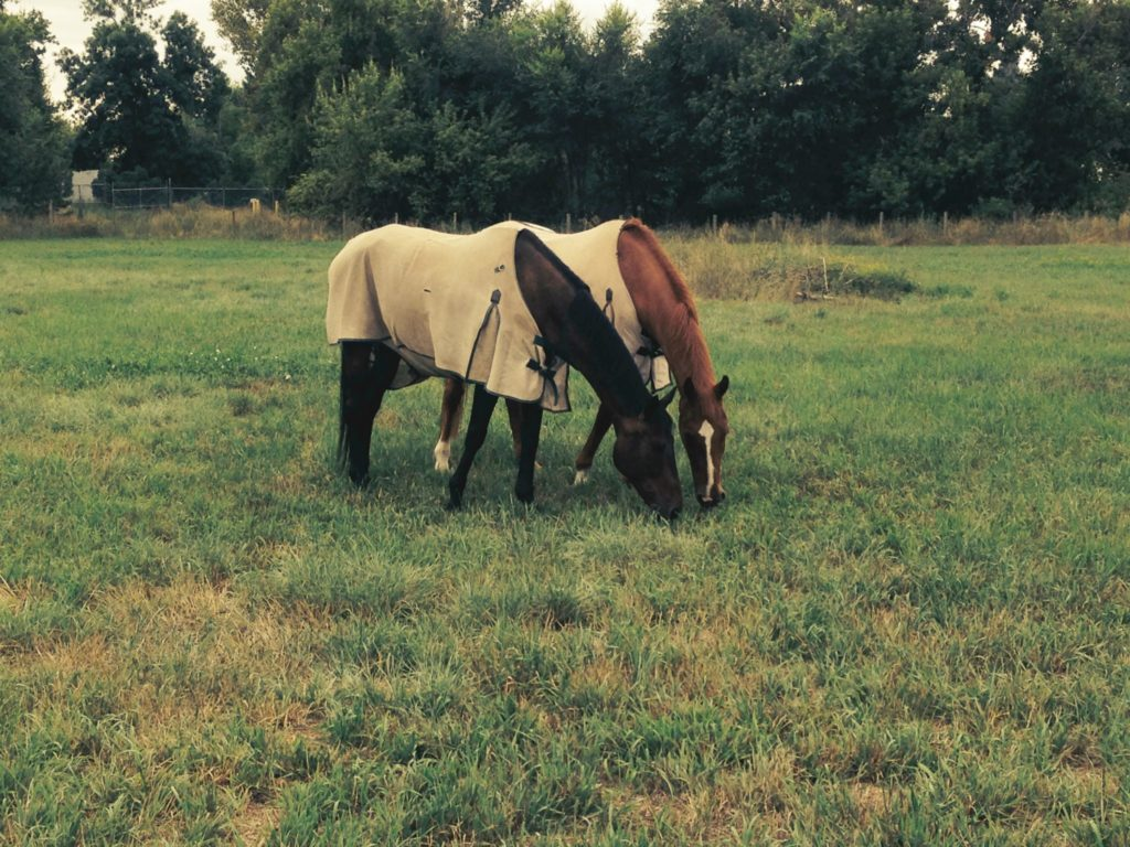 two horses grazing, wearing fly sheets