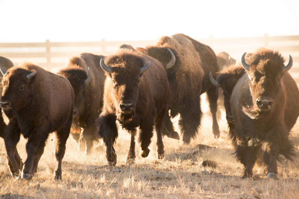 bison running