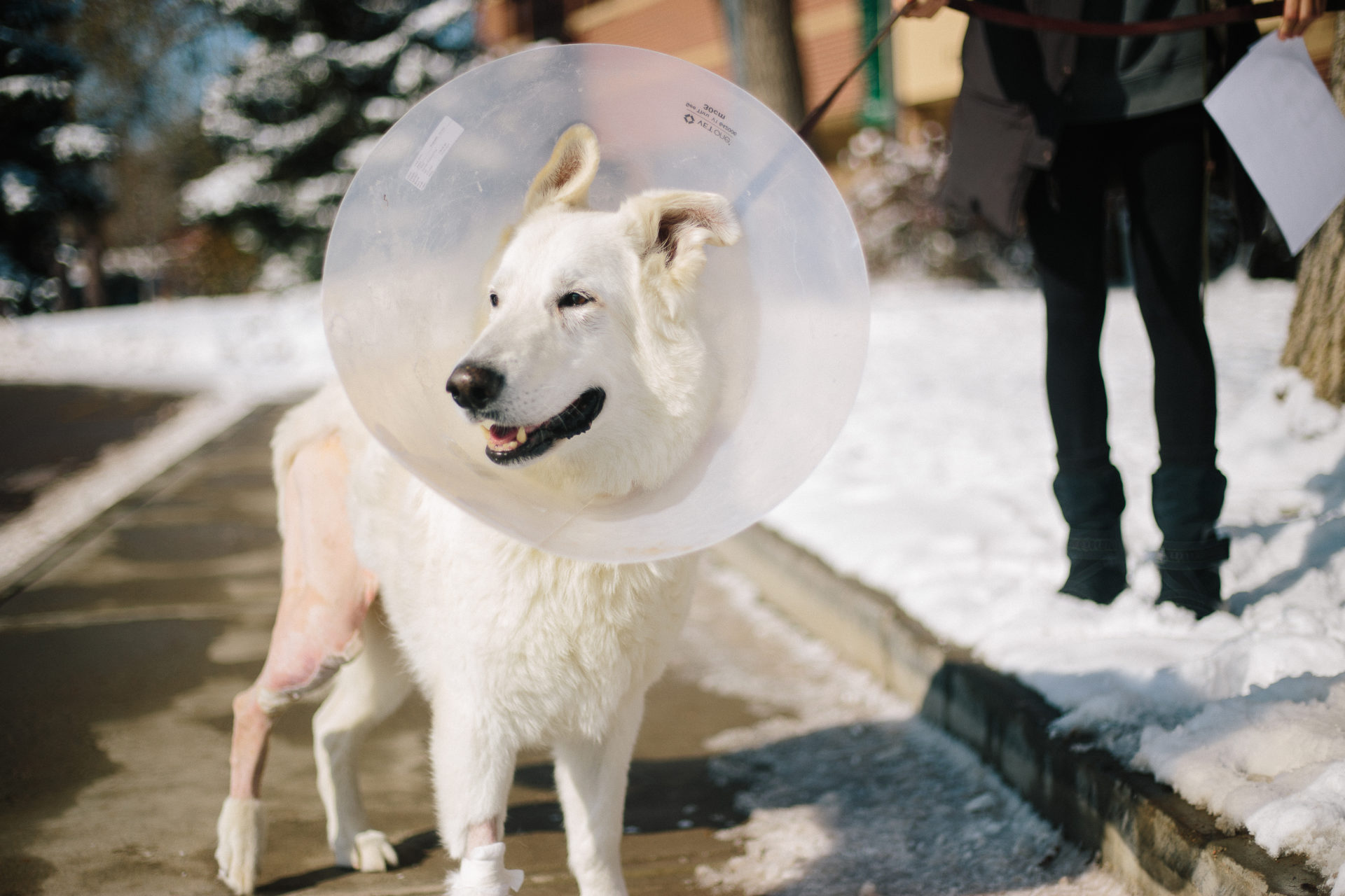 dog goes outside after surgery