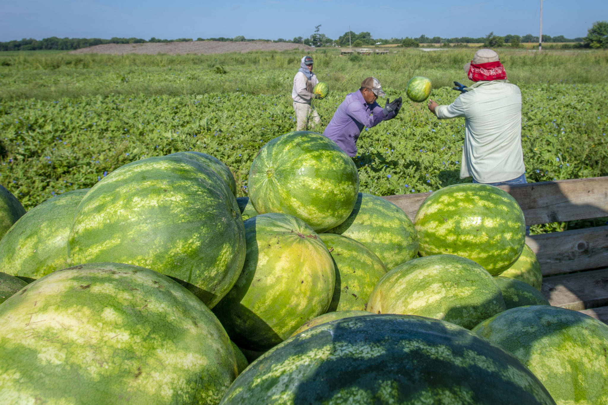 Workers harvest watermelons
