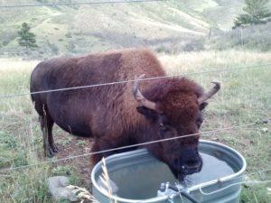 bison drinking water