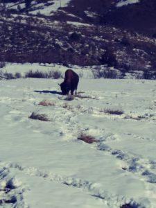 bison eating hay