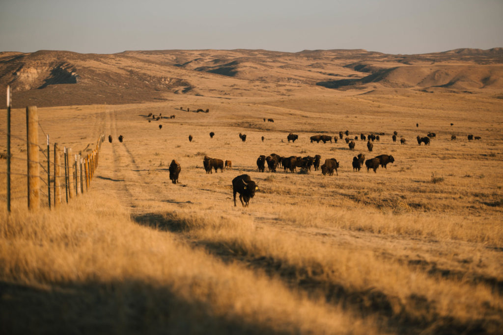 Laramie Foothills Conservation Herd, Oct. 2020
