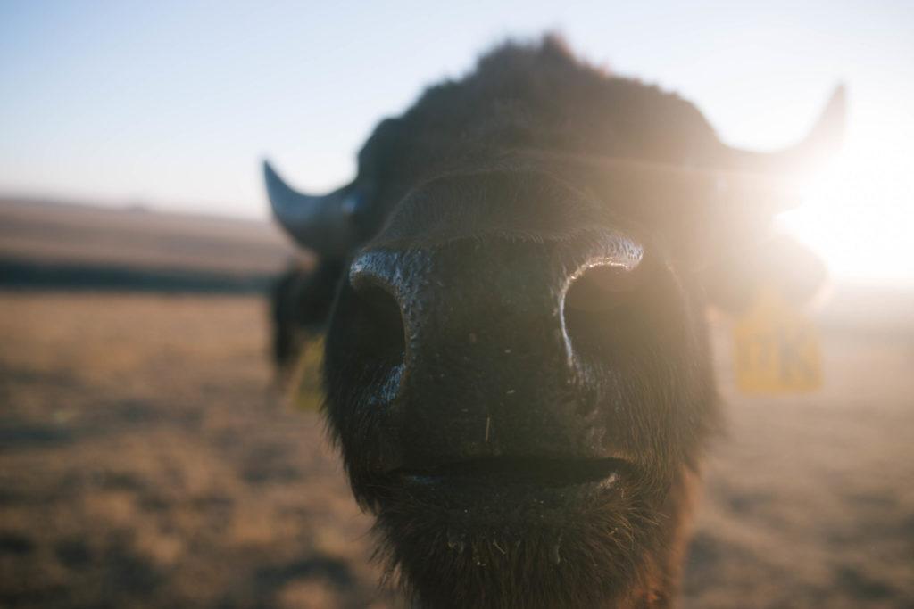 bison nose