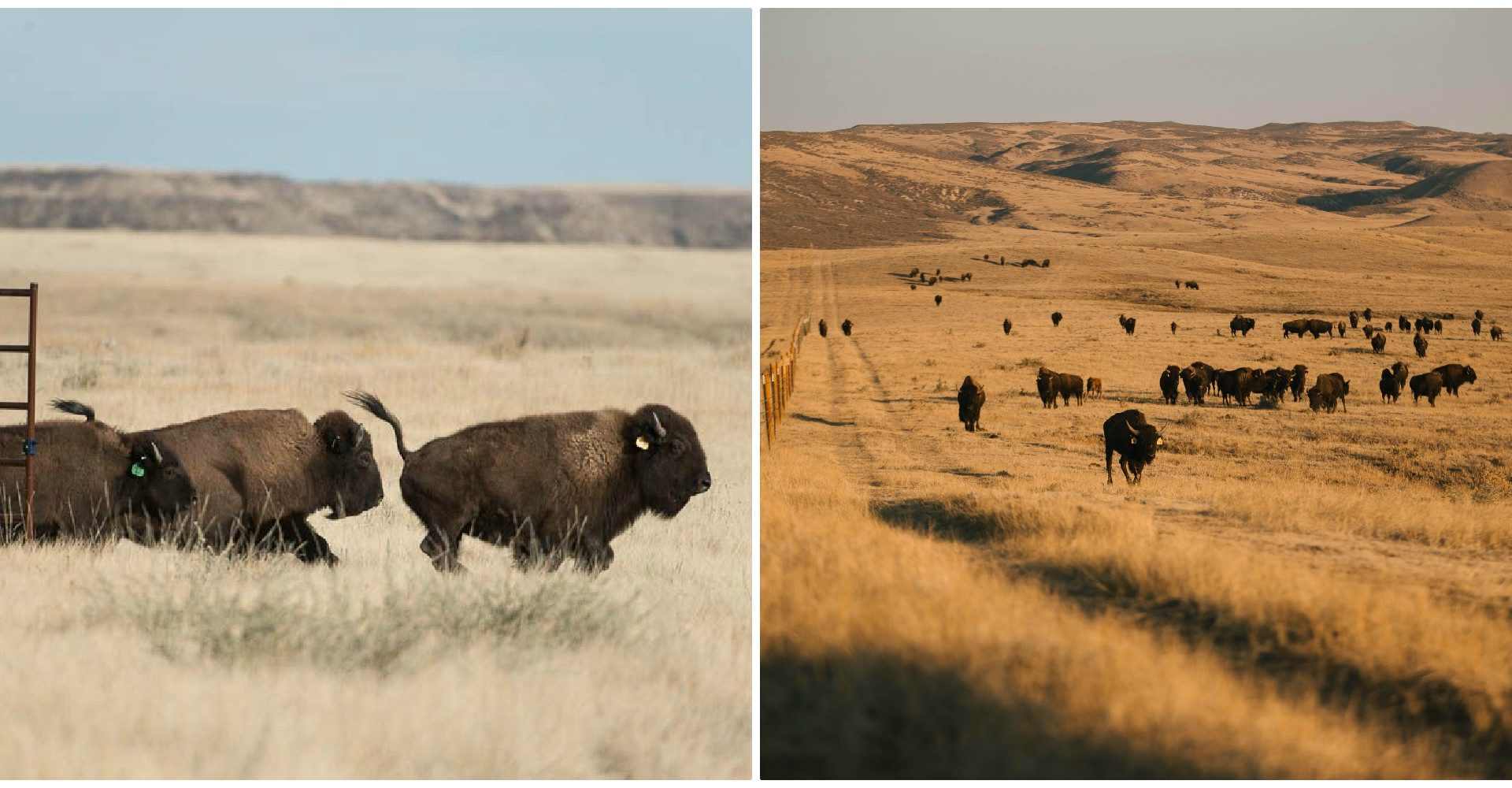 a photo of bison in 2015 compared with today on Soapstone Prairie Natural area