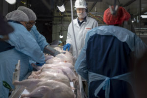 Four people assess recently processed raw turkeys as they go by on a conveyor belt.