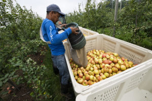 Farmworker in an apple orchard dumping a basket of apples he picked into a large crate.