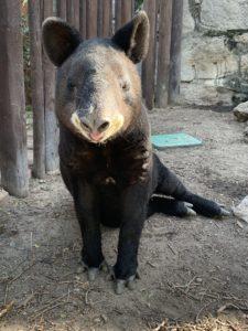 Cofan the mountain tapir at the Cheyenne Mountain Zoo in Colorado