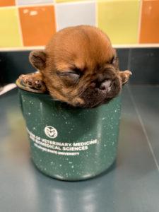 tiny French bulldog puppy inside a green mug