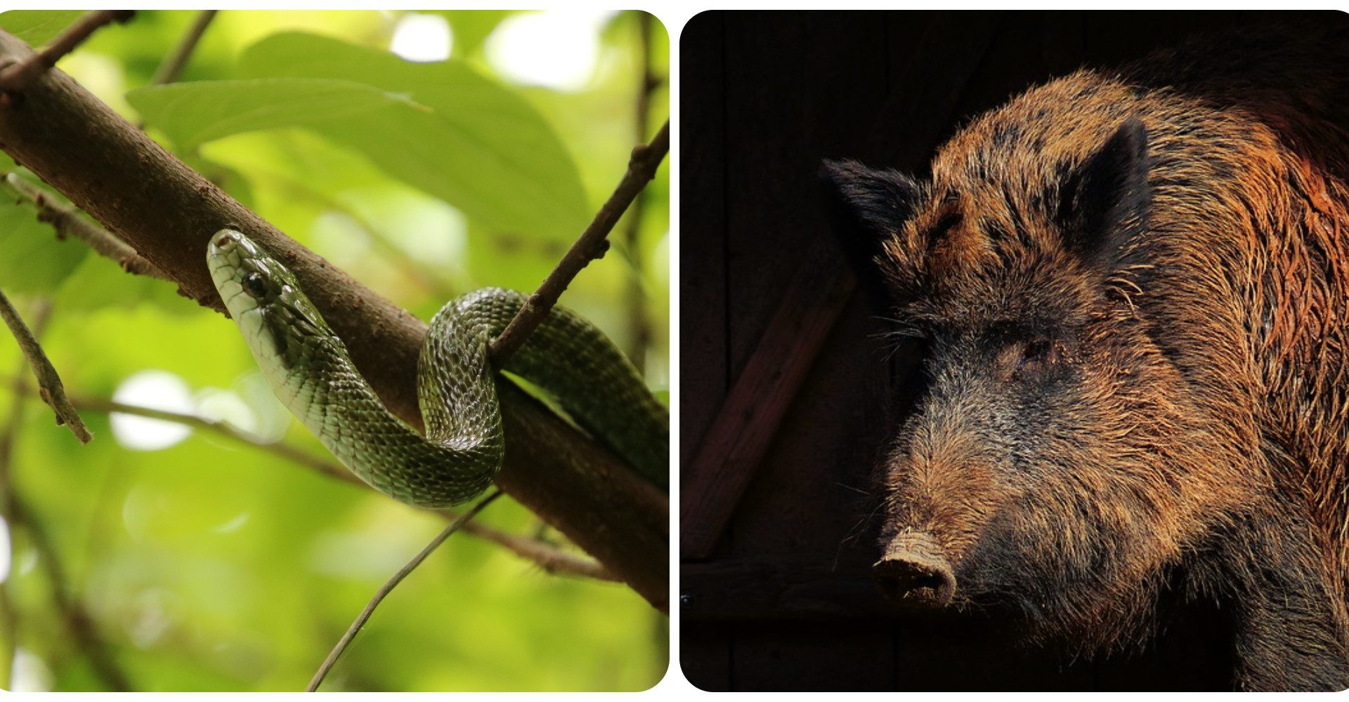 photo collage of a rat snake and a boar